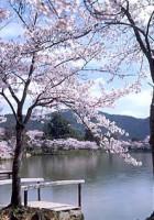 大沢の池の桜