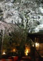 桔梗庵の桜