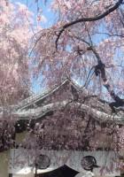 養源院の桜
